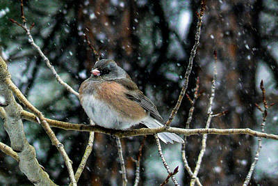 Dark-eyed Junco During A Snowfall Poster by Marilyn Burton