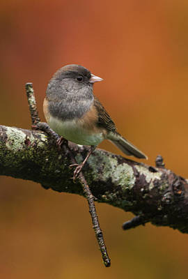 Dark-eyed Junco In Autumn Poster by Angie Vogel
