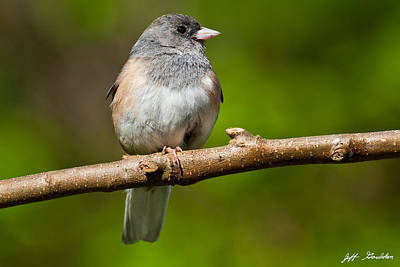 Dark Eyed Junco Perched On A Branch Poster