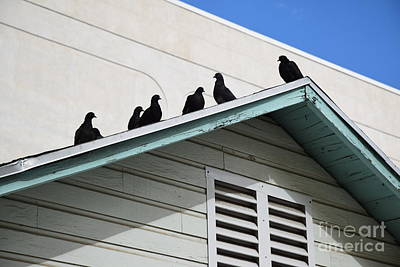 Dark Pigeons Poster