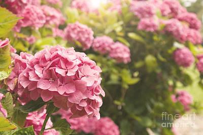 Dark Pink Hydrangea Poster