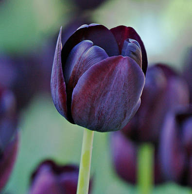 Dark Purple Tulip Poster by Sandy Keeton