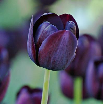 Dark Purple Tulip Poster by Sandy Keeton
