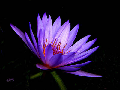 Dark Side Of The Purple Water Lily Poster