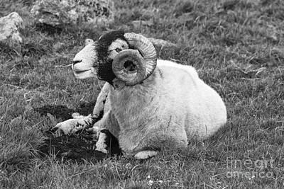 Dartmoor Sheep 1 Poster by Ian Dagnall