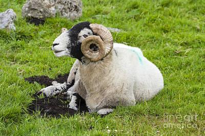 Dartmoor Sheep 2 Poster by Ian Dagnall