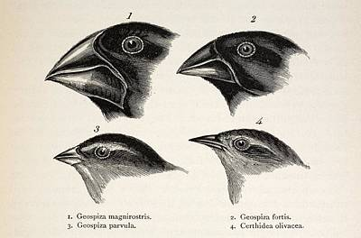 Darwin's Galapagos Finches Poster by Paul D Stewart