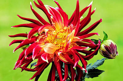 Dawn Of The Dinner Plate Dahlia Poster