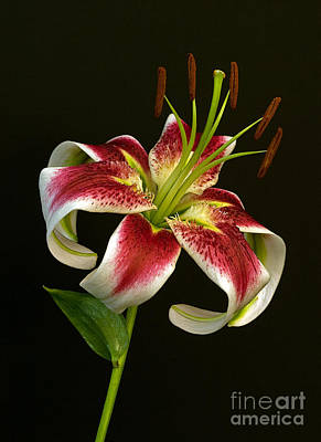 Day Lily Majesty Poster