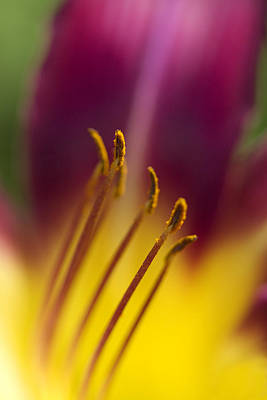 Daylily Abstract Poster