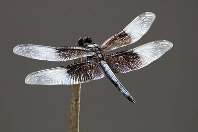 Dazzling Dragonfly Poster