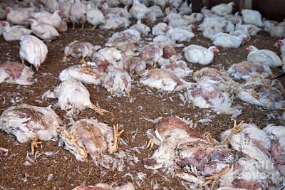 Dead Chickens At Poultry Farm Poster