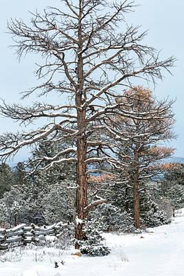 Dead Ponderosa Pines In Winter Poster