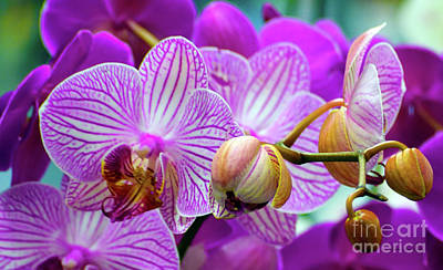 Poster featuring the photograph Decorative Fuschia Orchid Still Life by Mas Art Studio