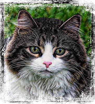 Poster featuring the mixed media Decorative Maine Coon Cat A4122016 by Mas Art Studio