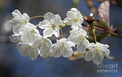 Deep Blue  Cherry Blossom Poster
