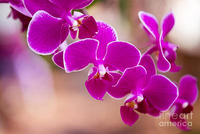 Deep Fuchsia Orchids  Poster by A New Focus Photography