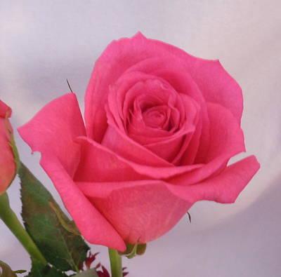 Single Deep Pink Rose Poster