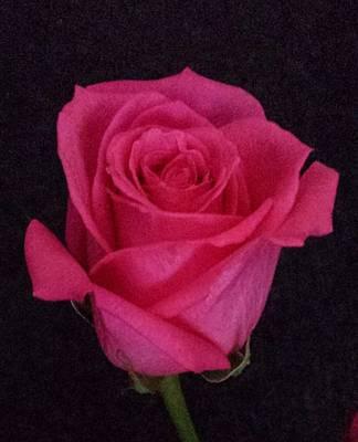 Deep Pink Rose On Black Poster