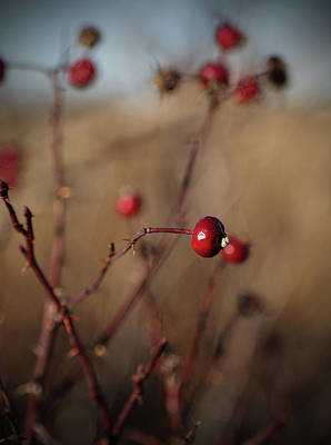 Deep Red Rose Hips On Brown And Blue Poster