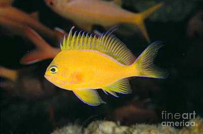 Deep Water Anthias Poster by Dave Fleetham - Printscapes