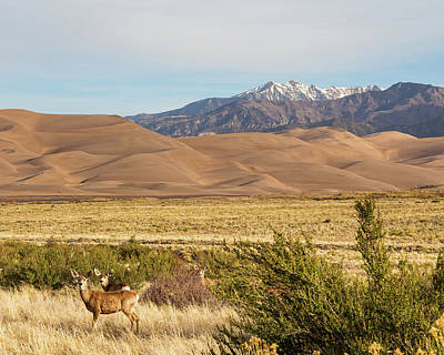 Poster featuring the photograph Deer And The Colorado Sand Dunes by James BO Insogna