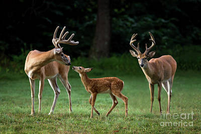 Poster featuring the photograph Deer Family Portrait by Andrea Silies