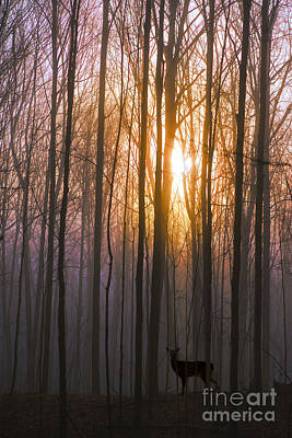 Deer In The Forest At Sunrise Poster by Diane Diederich
