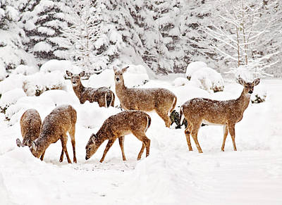 Poster featuring the photograph Deer In The Snow 2 by Angel Cher