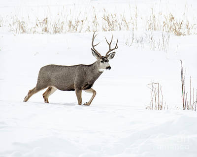 Poster featuring the photograph Deer In The Snow by Rebecca Margraf