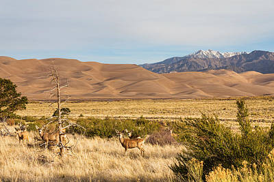 Deer On The Plains Great Colorado Sand Dunes Poster