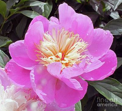 Delecate Petals - Sorbet Peony Poster by Cindy Treger