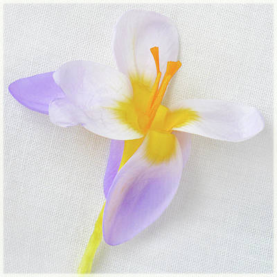 Poster featuring the photograph Delicate Art Of Crocus by Terence Davis