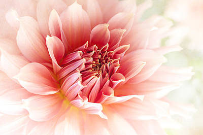 Delicate Dahlia Poster by Jacky Parker