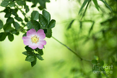 Delicate Dog Rose Poster by Tim Gainey