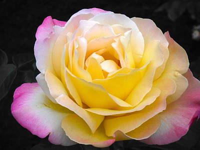 Delightful Blushing Rose  Poster