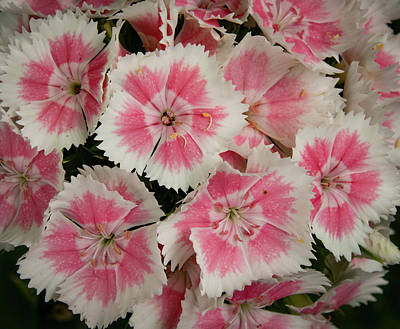 Poster featuring the photograph Delightful Dianthus by Jean Noren