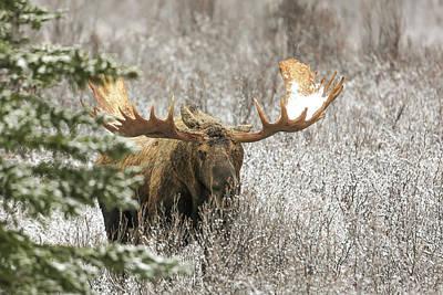 Denali National Park Bull Moose Poster by Sam Amato