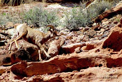 Desert Bighorn Ram Walking The Ledge Poster
