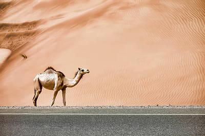 Desert Camel Poster