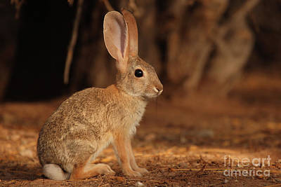 Poster featuring the photograph Desert Cottontail Posing by Max Allen