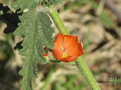 Desert Globemallow Bloom 202 Poster