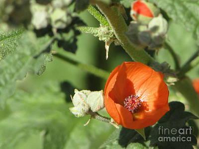 Desert Globemallow Bloom 215 Poster