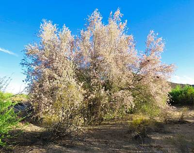 Desert Ironwood Tree In Bloom - Early Morning Poster