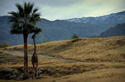 Desert Palm Giraffe 001 Poster