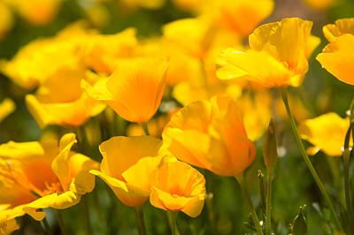 Desert Poppy Flowers In Bloom Poster