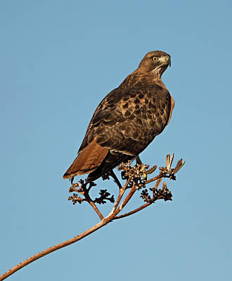 Desert Red Tail Poster by Loree Johnson