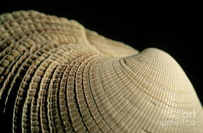 Detail Of A Textured Surface Of A Seashell Poster