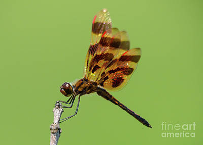 Detailed Dragonfly Poster by Cheryl Baxter