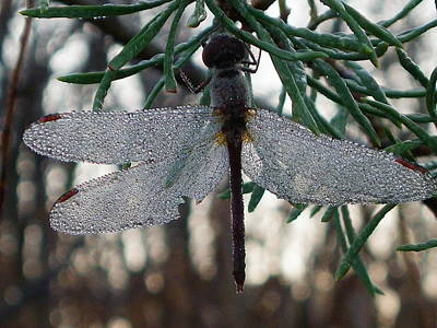 Dew Beaded Wings Poster by Peggy King